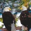 8-15-11 Wildlife Picture Pair of Bald Eagles