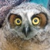 8-16-11 Wildlife Picture Baby Great Horned Owl Close Up