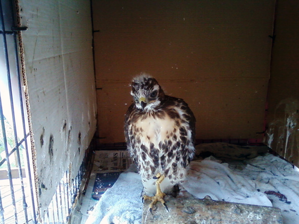 8-17-11 Wildlife Picture Red-Tailed Hawk Baby