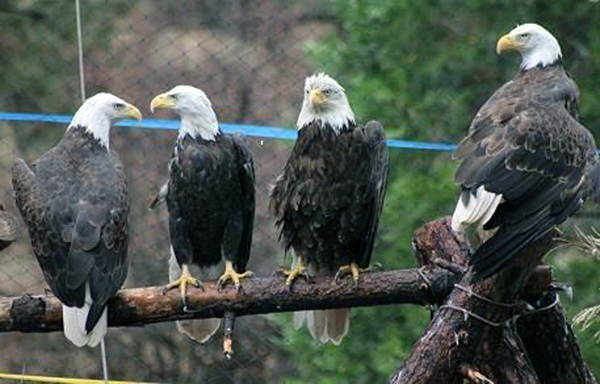 8-18-11 Wildlife Picture Our Four Resident Bald Eagles