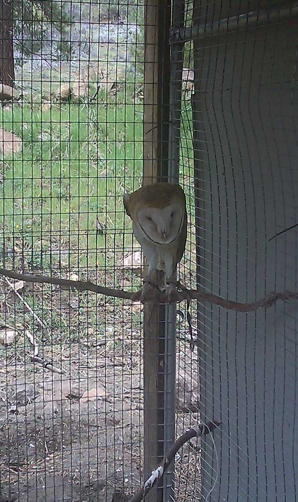 8-19-11 Wildlife Picture Barn Owl on Perch
