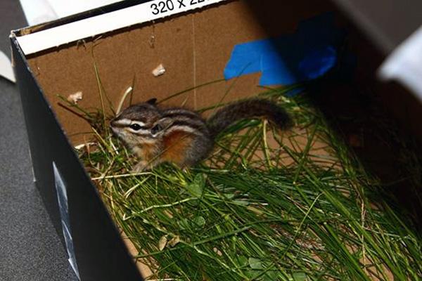 8-20-11 Wildlife Picture Chipmunk in a Box