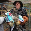 8-21-11 Wildlife Picture Immature Golden Eagle Physical Exam