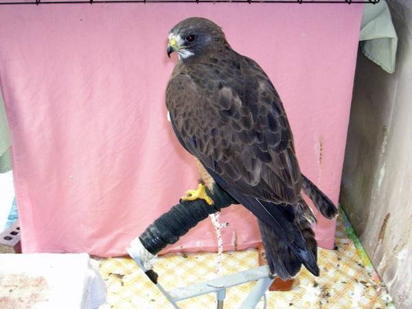 8-22-11 Wildlife Picture Maya Swainson's Hawk Ambassador