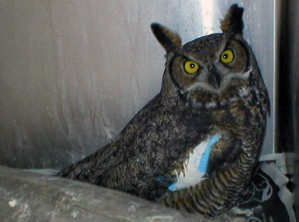 8-24-11 Wildlife Picture Great Horned Owl Right Figure 8 Wing Wrap