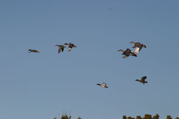 8-25-11 Wildlife Picture Northern Shovelers in flight