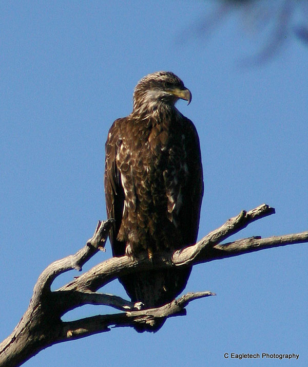 8-28-11 Wildlife Picture Immature Bald Eagle Looking Away