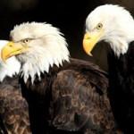 Primo, Sec, Trip, & Quadra - Bald Eagles (Haliaeetus leucocephalus)