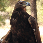 Draco - Golden Eagle (Aquila chrysaetos)