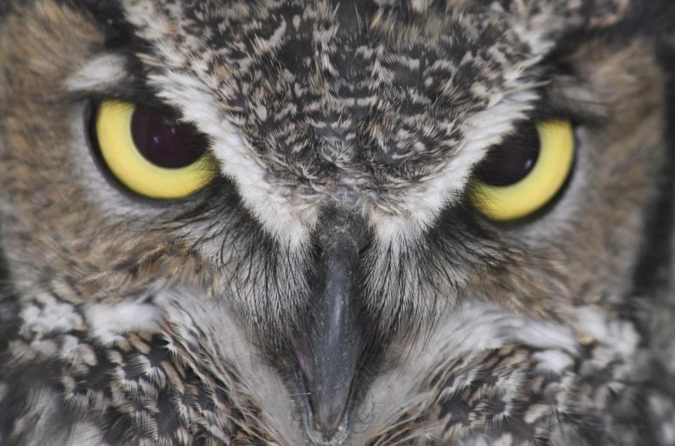 Ewok (Great Horned Owl)