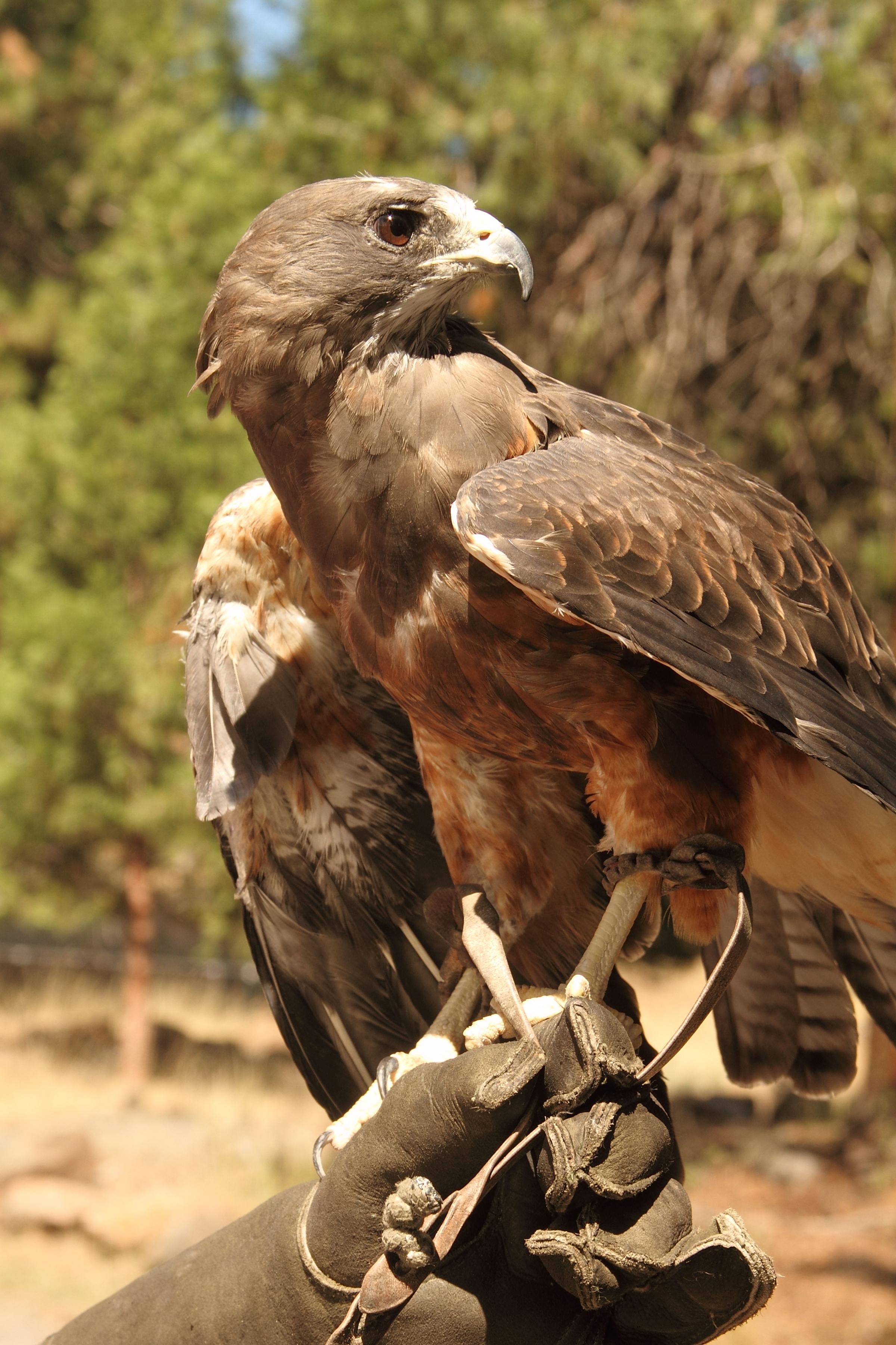 Maya (Swainson's Hawk)