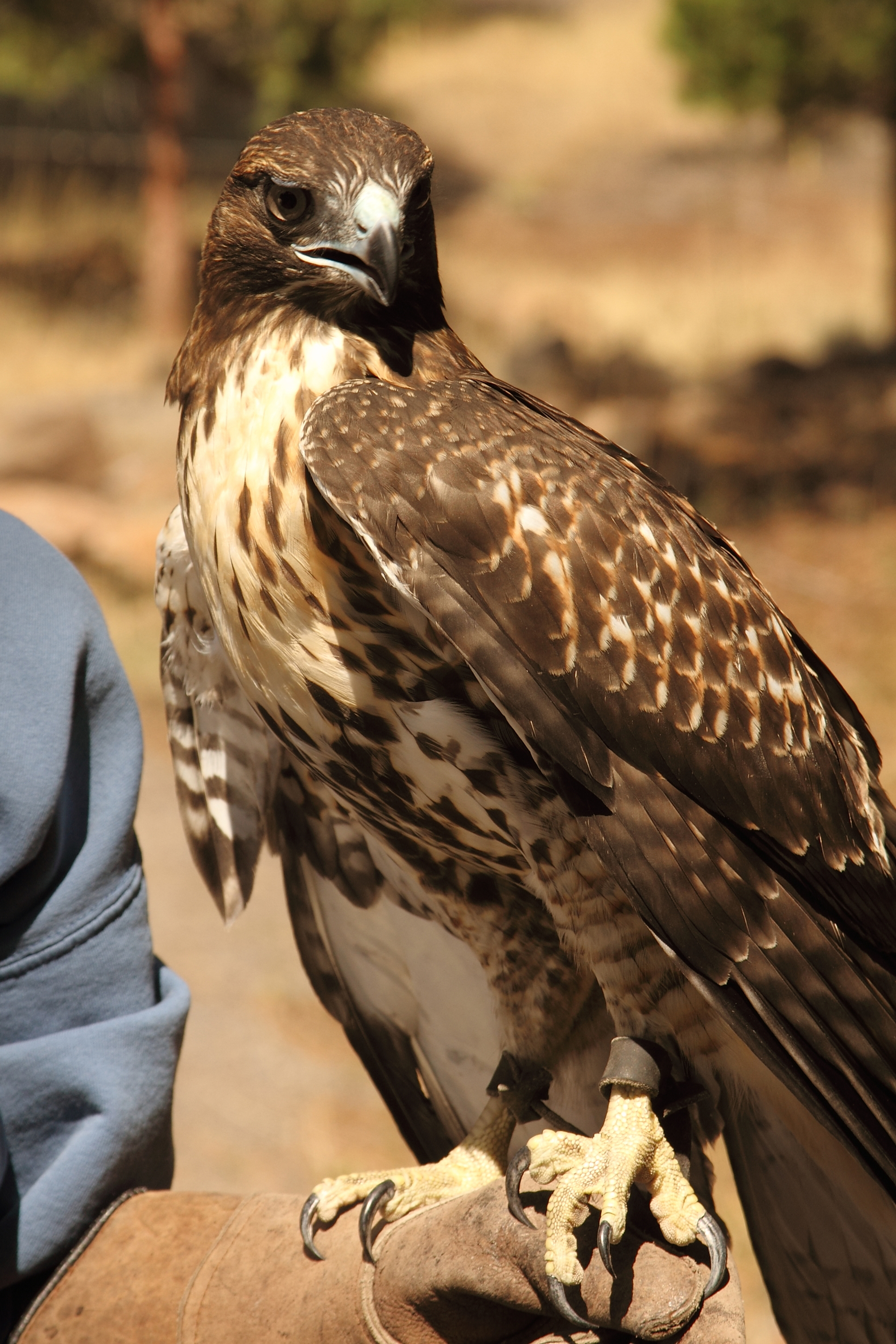 Little Bit (Red-Tailed Hawk)