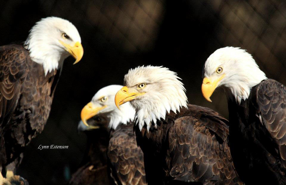 Primo, Sec, Trip, & Quadra (Bald Eagles)