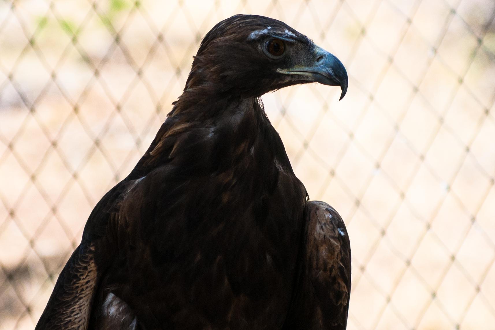Draco (Golden Eagle)