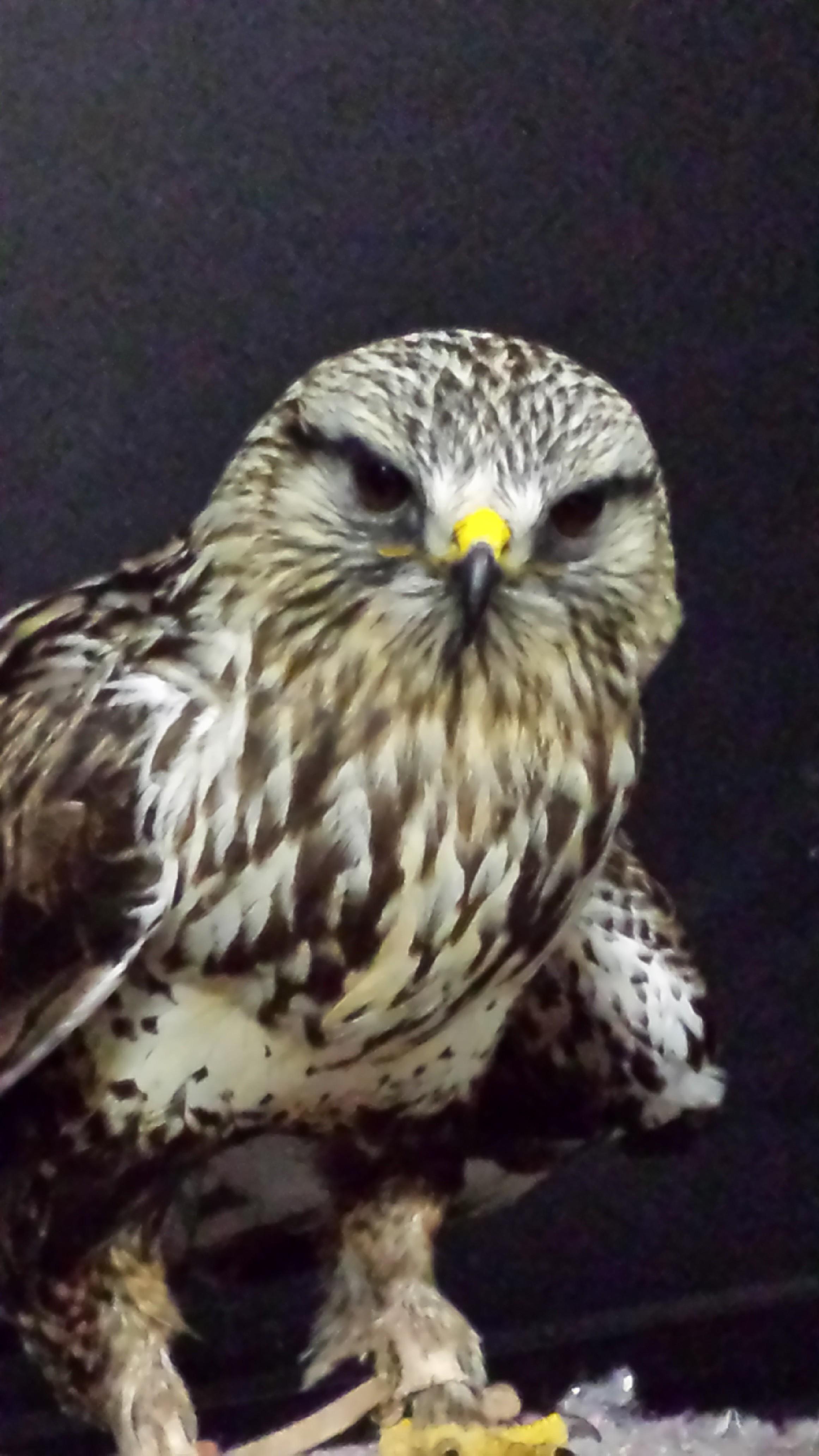 Rufio (Rough-Legged Hawk)