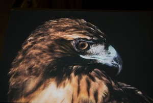 Little Bit (Red-Tailed Hawk) unframed photograph on canvas (10 x 15 inch)