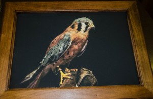 Captain Jack (American Kestrel) photograph on canvas in solid cherry frame (12 x 16 inch)***