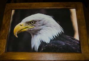 Quadra (Bald Eagle) photograph on canvas in solid cherry frame (12 x 16 inch)***