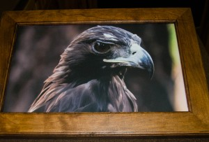 Draco (Golden Eagle) photograph on canvas in solid cherry frame (12.5 x 18.5 inch)***