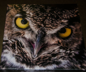 Ewok (Great Horned Owl) unframed photograph on canvas (10 x 10 inch)