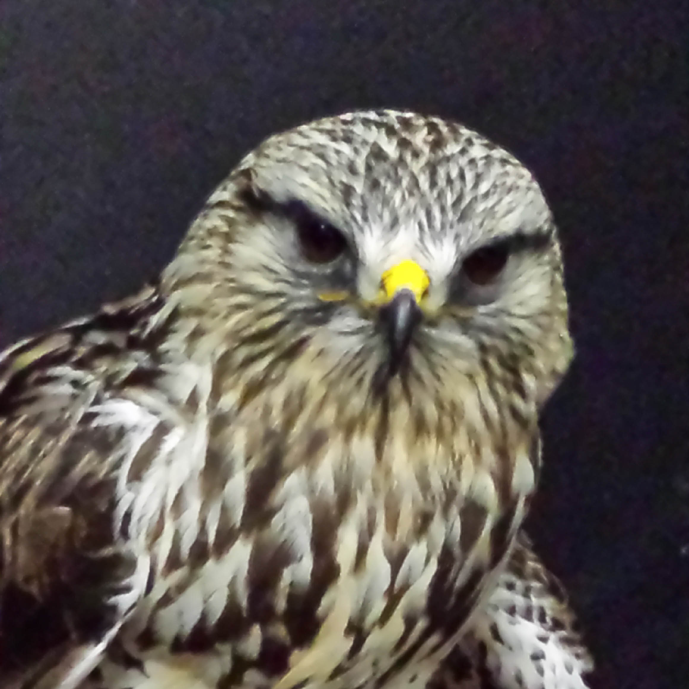 Rufio - Rough Legged Hawk (Buteo lagopus)