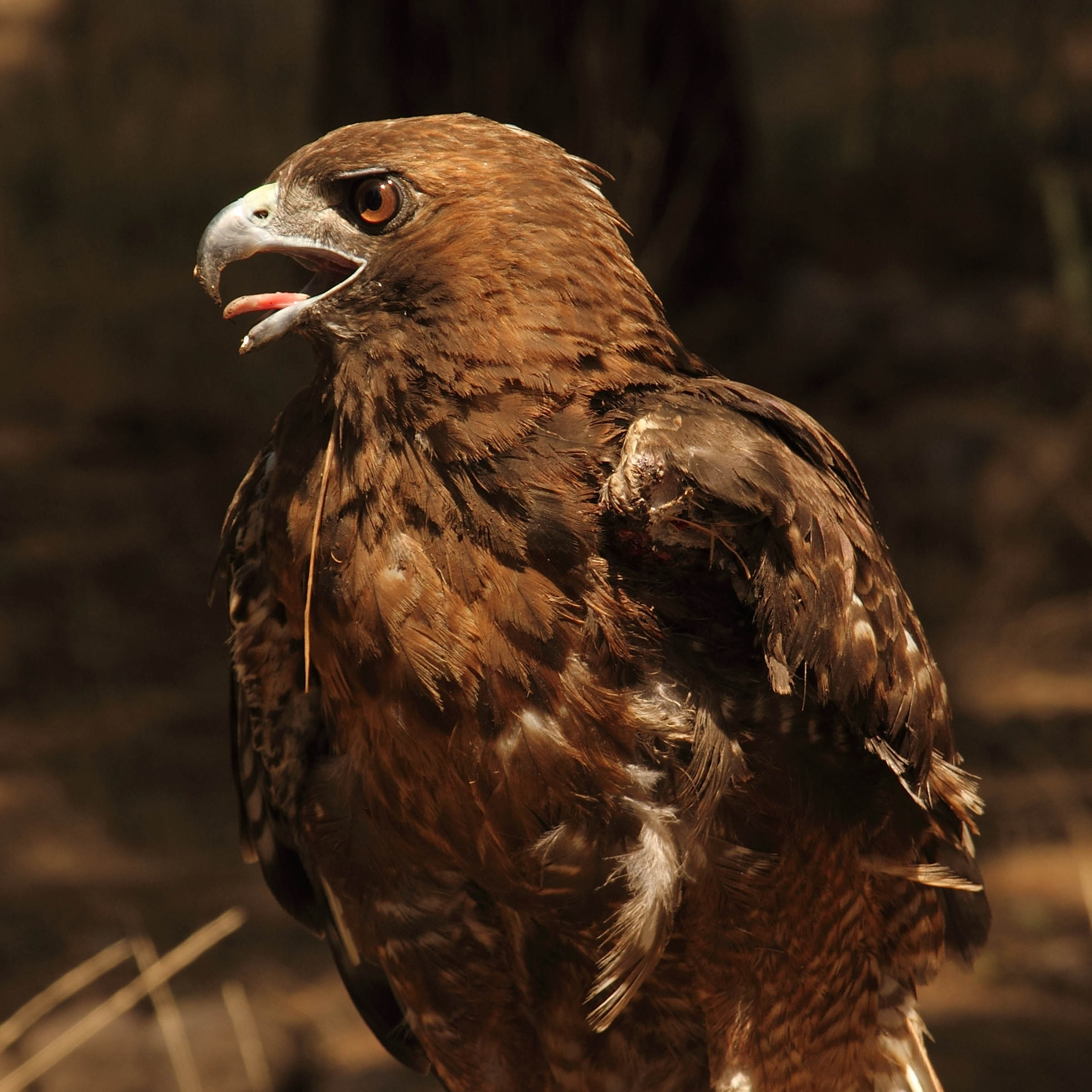 Sonja - Red Tailed Hawk (Buteo jamaicensis)