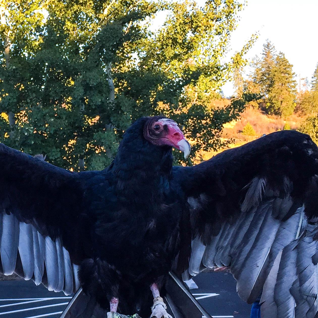 Dexter - Turkey Vulture (Cathartes Aura)