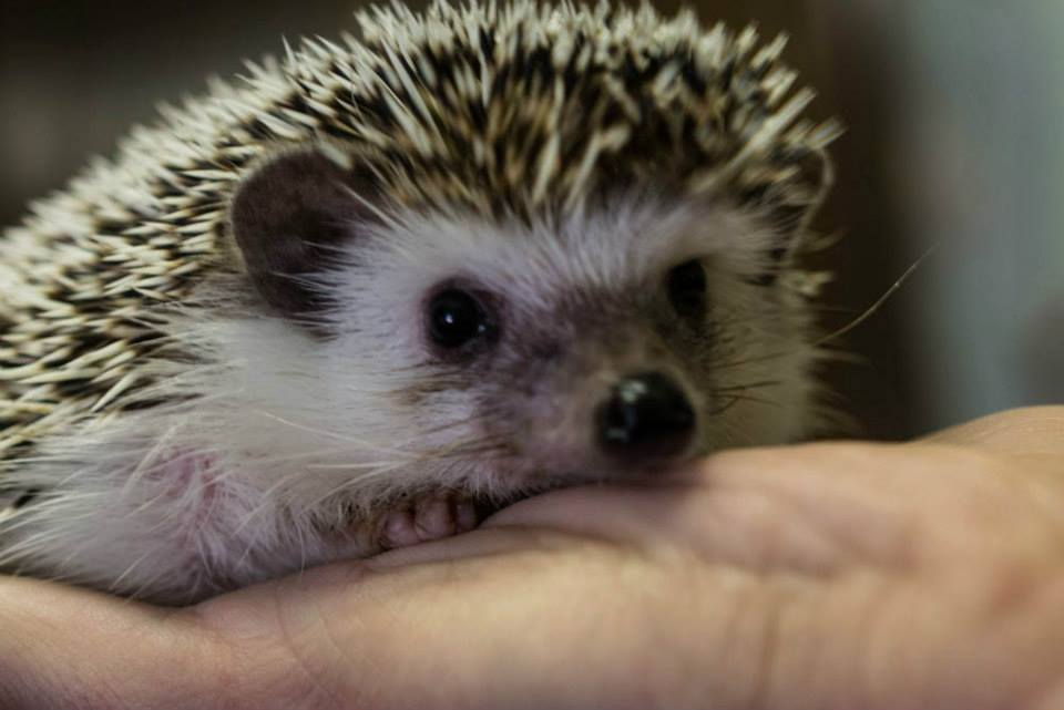 Image result for african pygmy hedgehogs