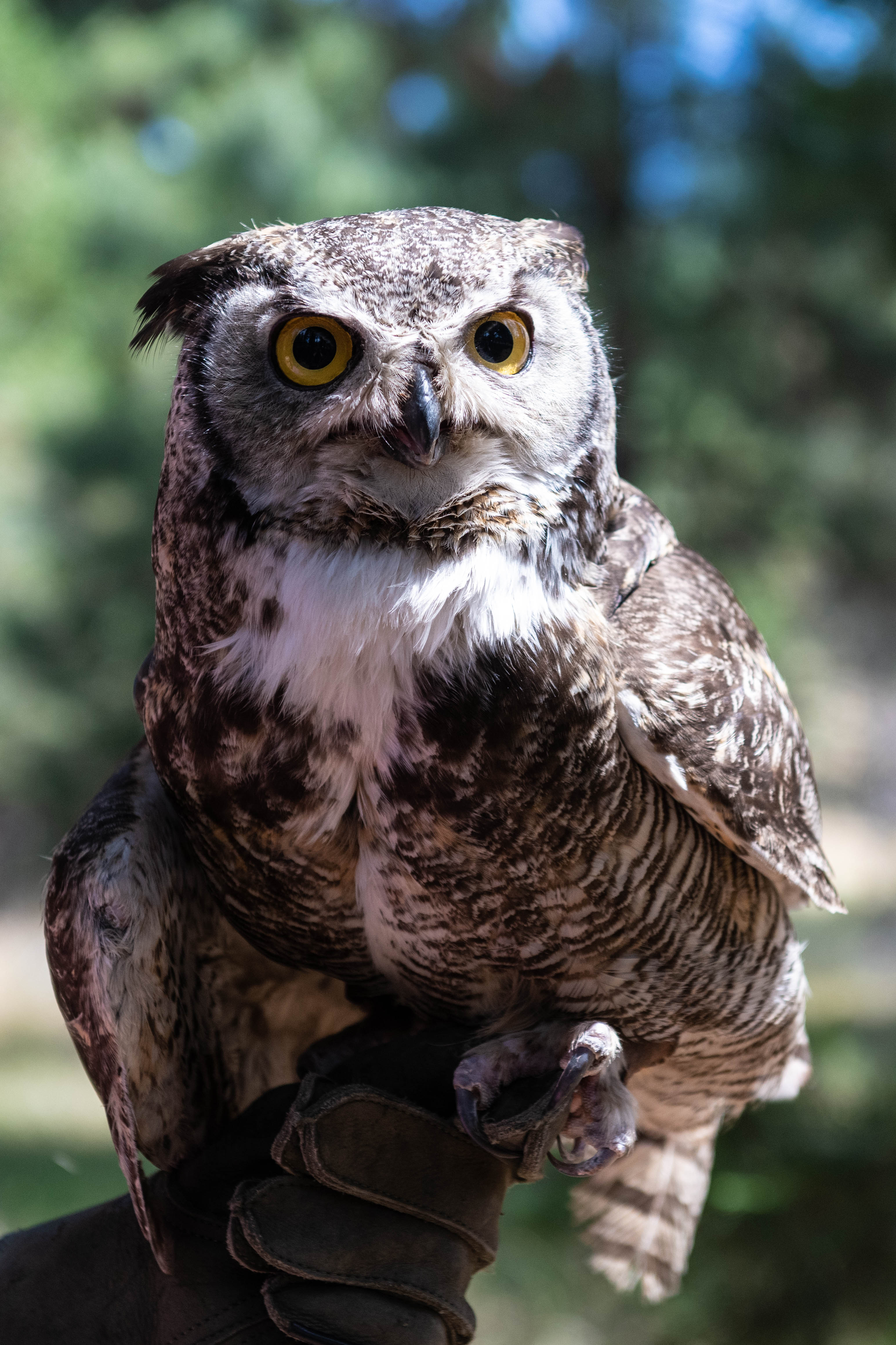 Dudley (Great Horned Owl)