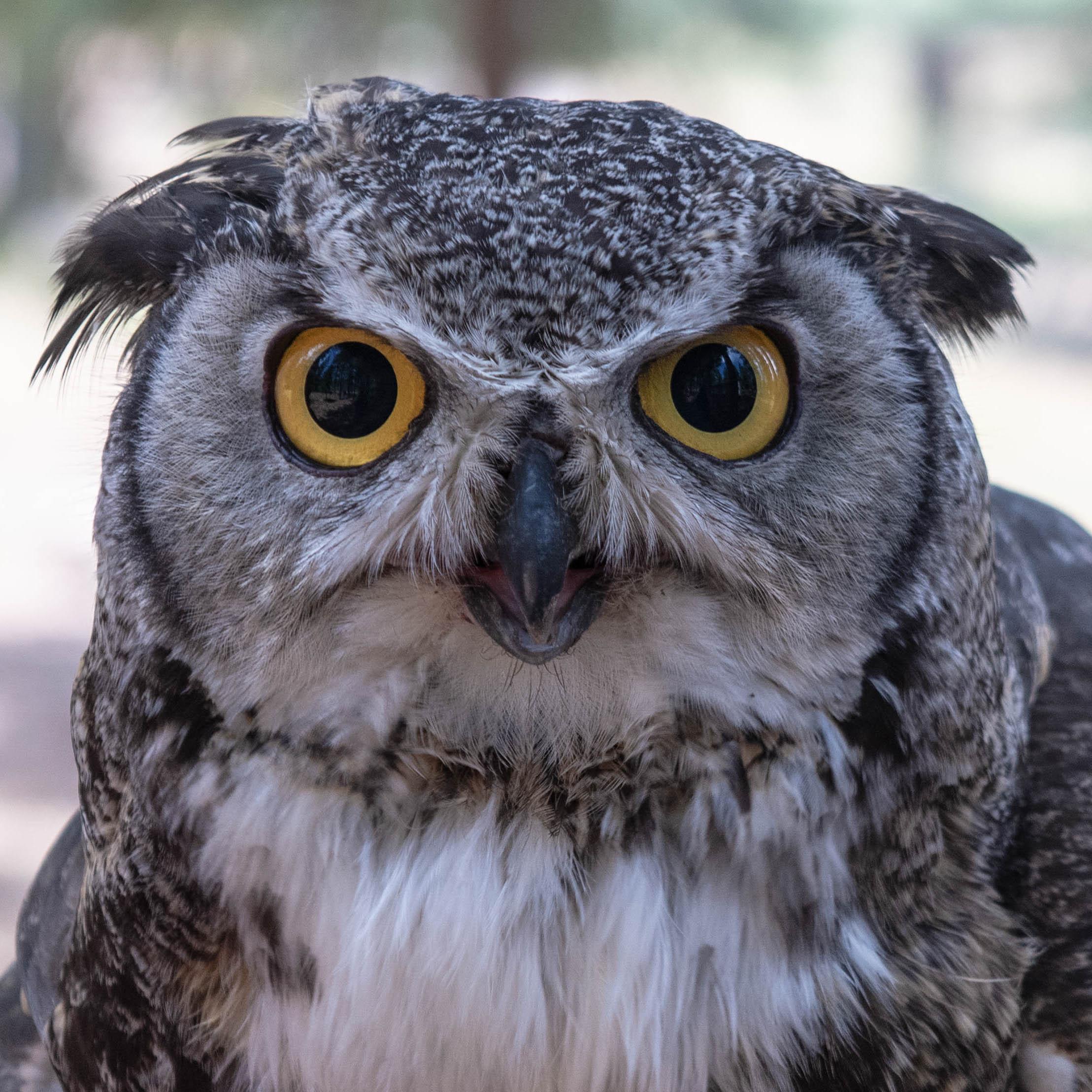 Dudley-Great Horned Owl- (Bubo virginianus)