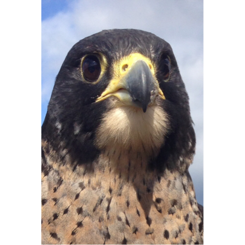 Tory (Peregrine Falcon)