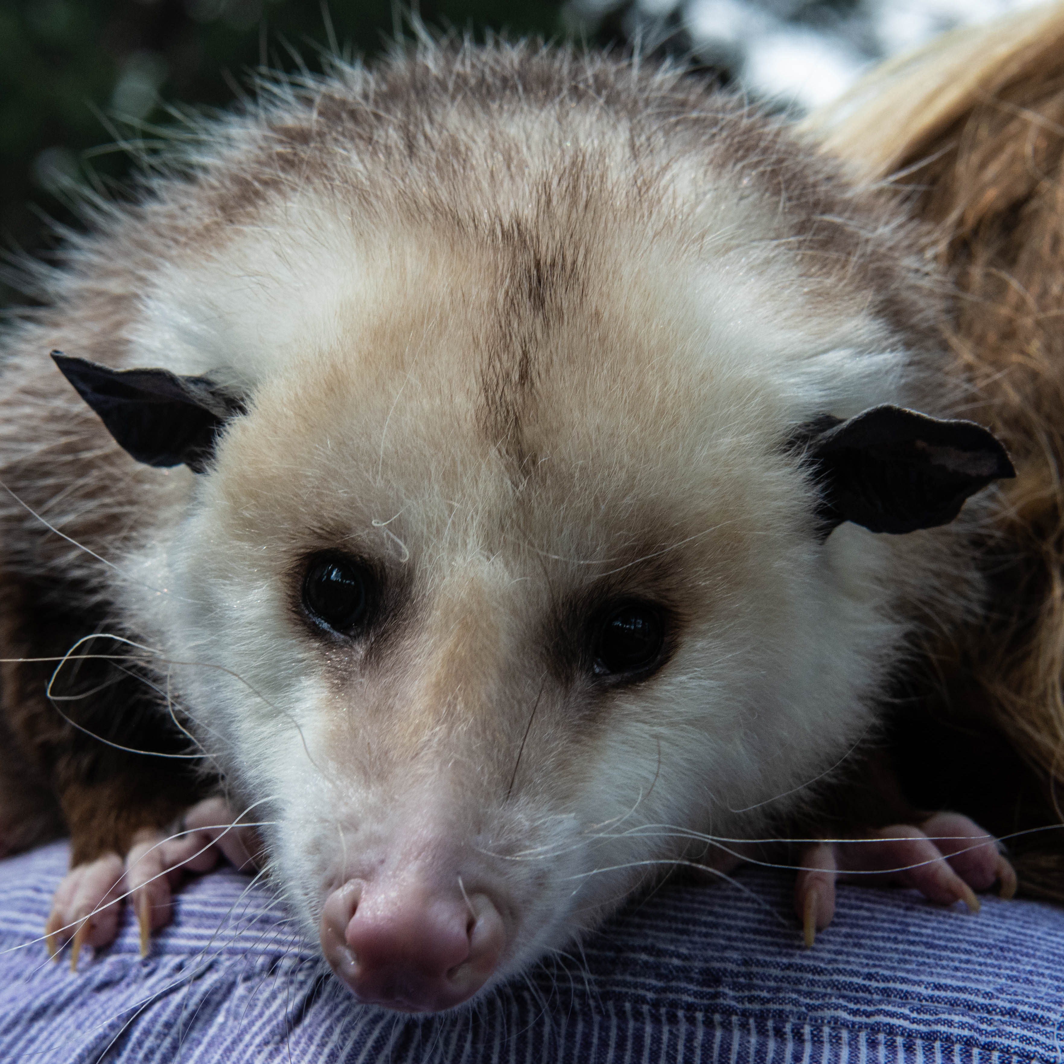 Sunny - Virginia Opossum (Didelphis virginiana)