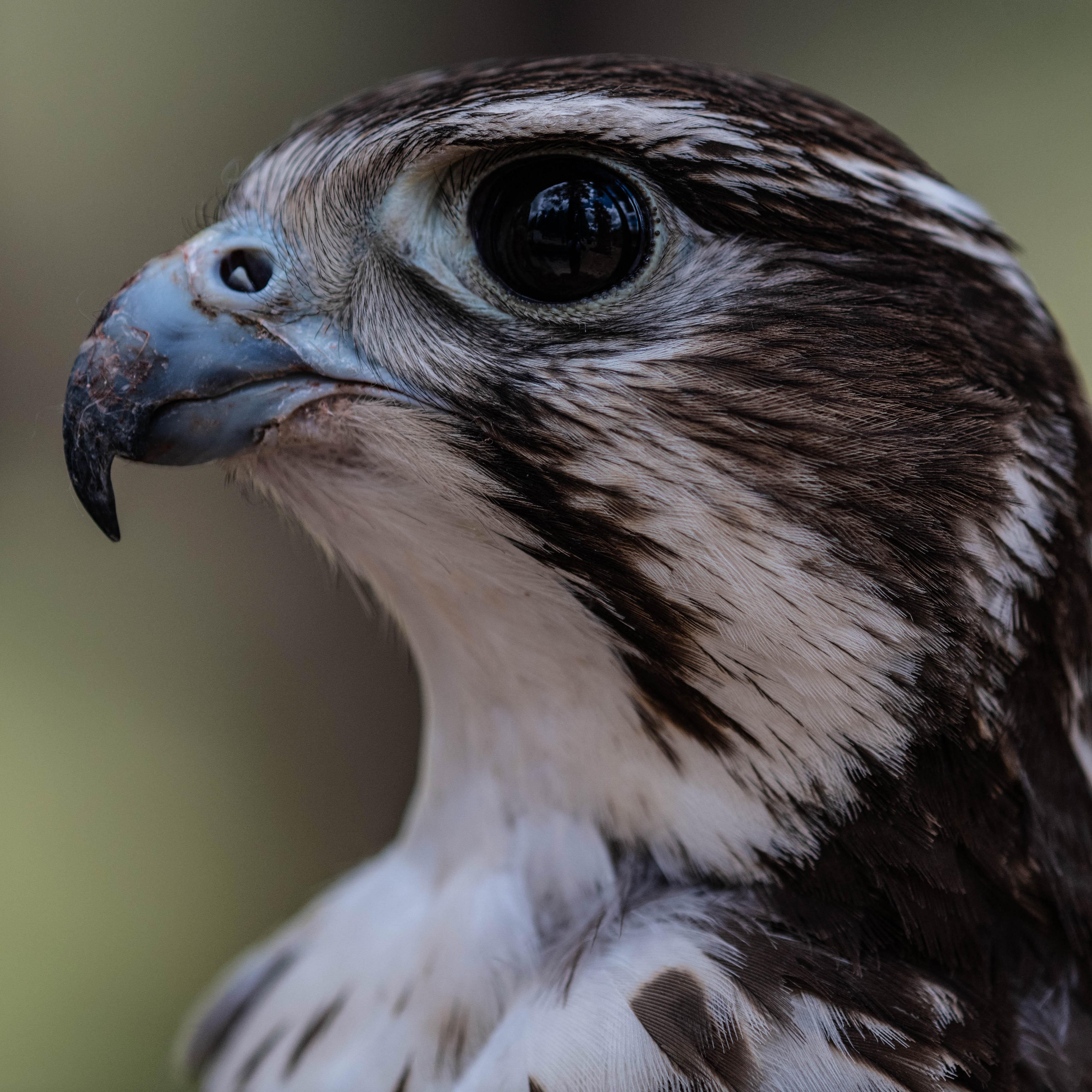 Kita - Prairie Falcon (Falco mexicanus)