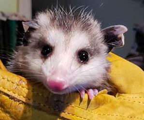 Barry - Virginia Opossum (Didelphis virginiana)