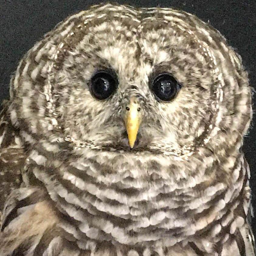 Paddington - Barred Owl (Strix varia)