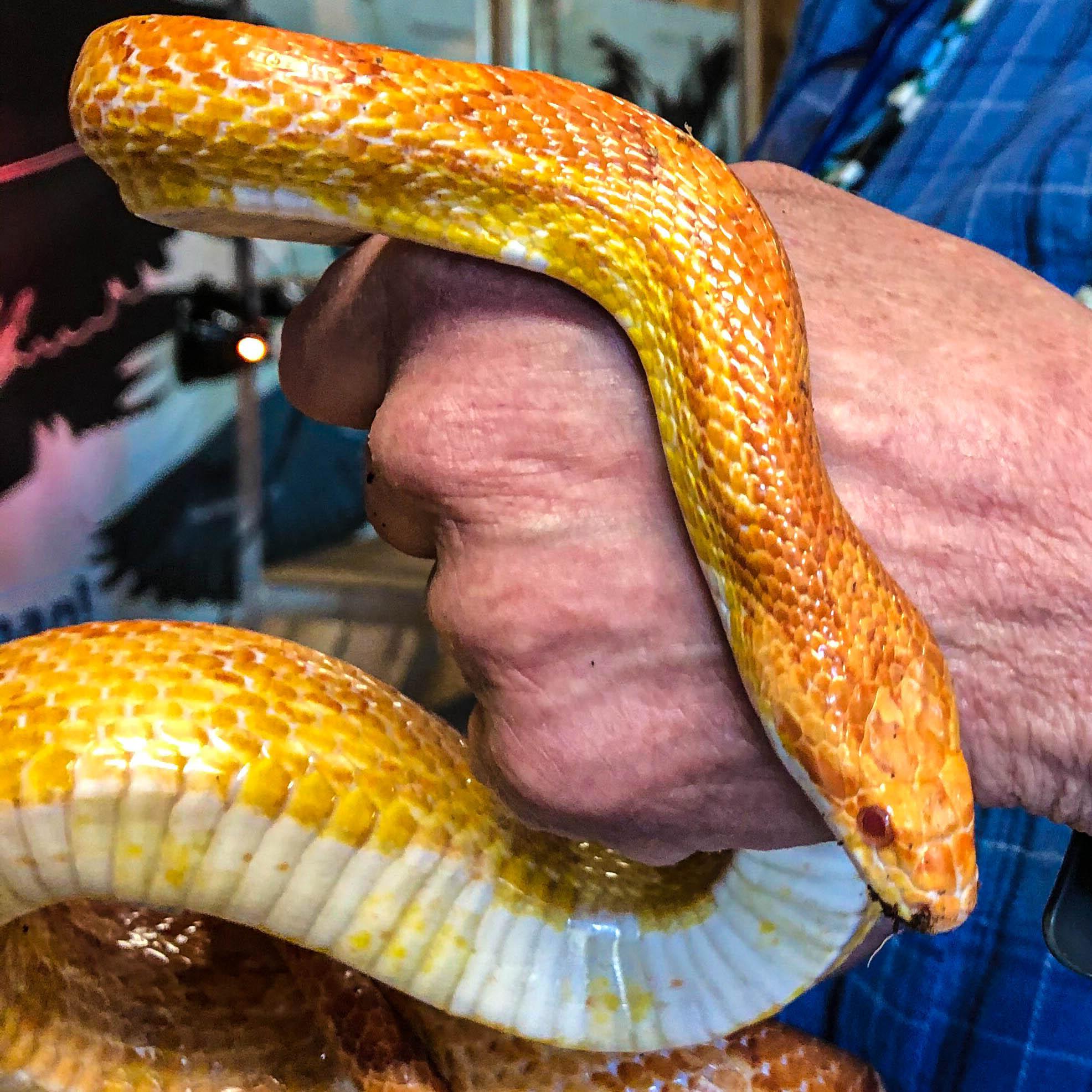 Papaya - Amelanistic Corn Snake (Pantherophis guttatus)