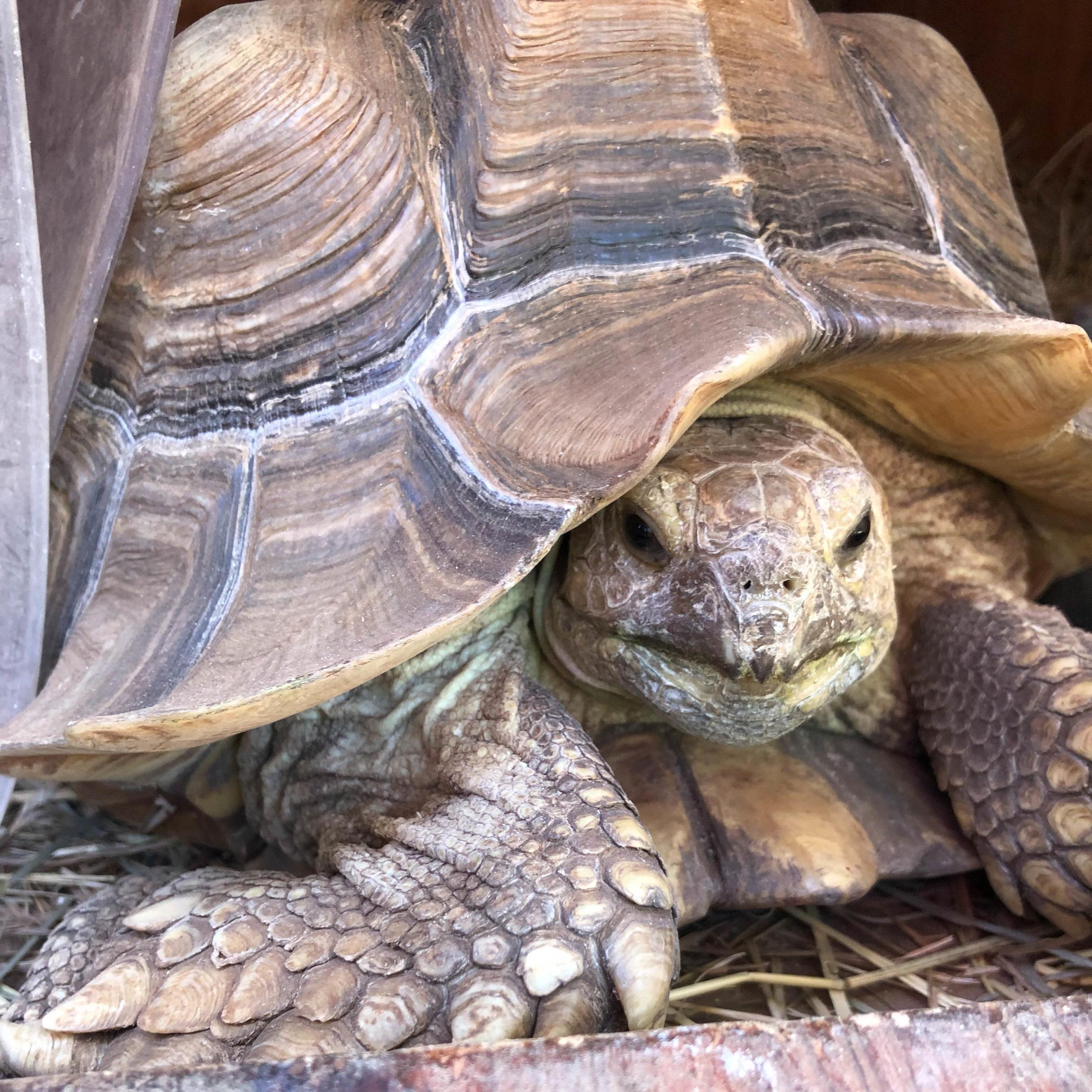 Princess Neferu - Sulcata Tortoise (Centrochelys sulcata)