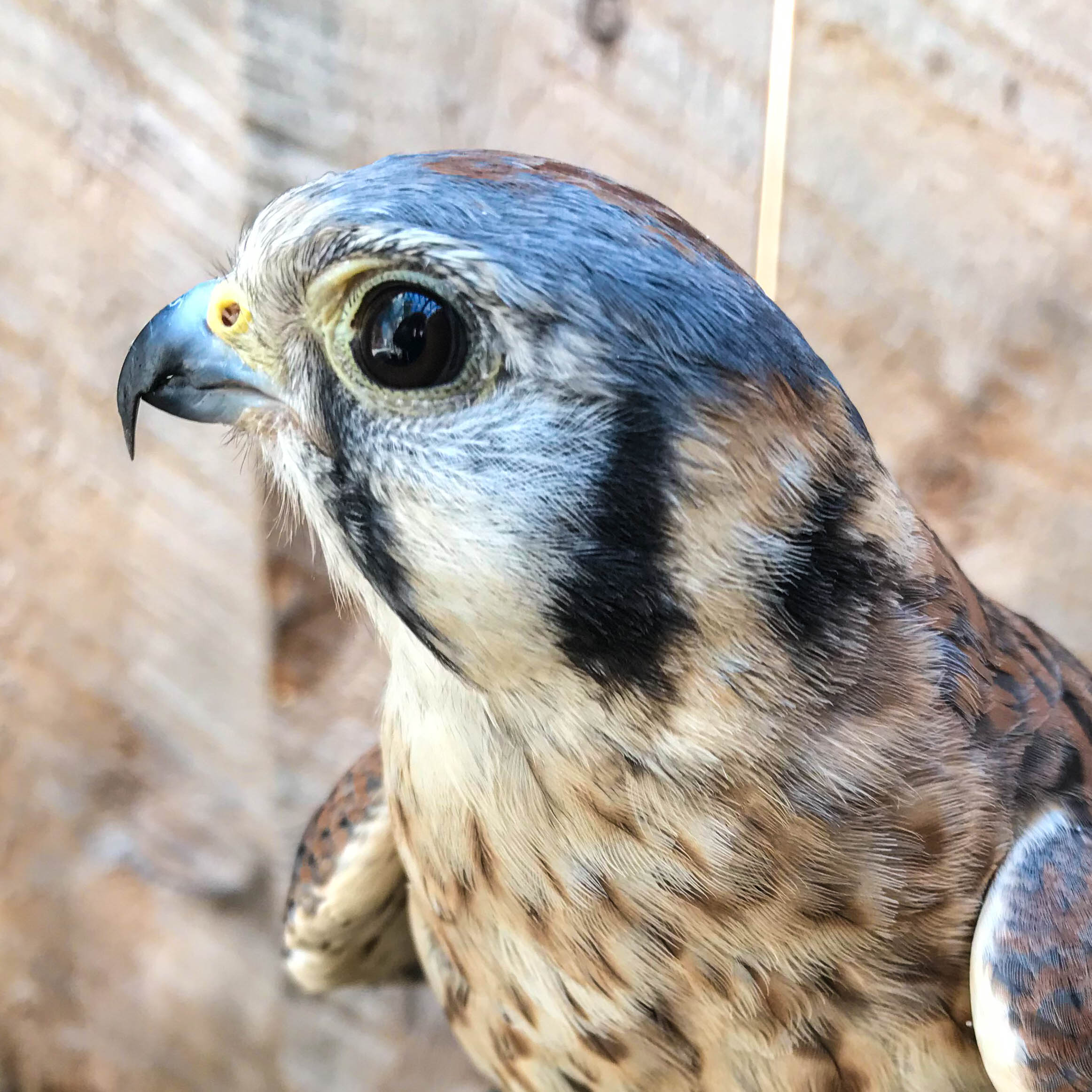 Banshee - American Kestrel (Falco sparverius)